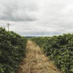 Tchibo tento rok zožne kávu na svojich plantážach na Morave ana Slovensku