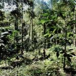 Za pestovaním kávy do thajskej džungle