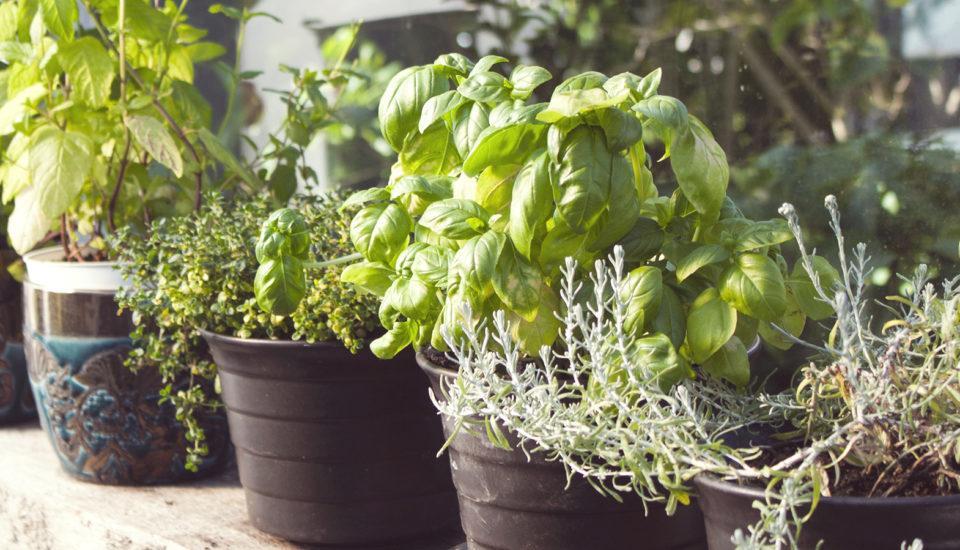 Kedy bylinky vkvetináči vydržia? Keď si ich vypestujete od semienka