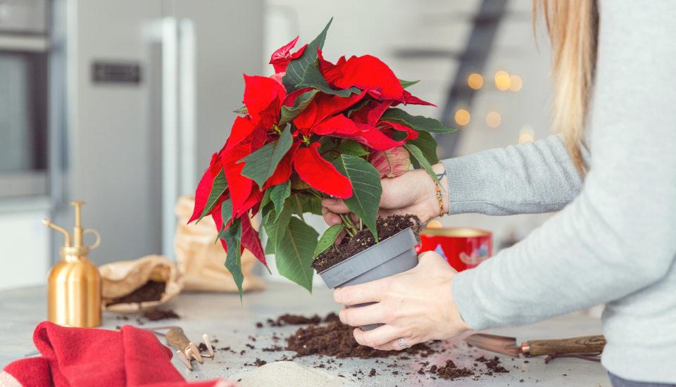 Ako sa postarať oVianočnú hviezdu, aby vydržala (nielen) do budúcich Vianoc