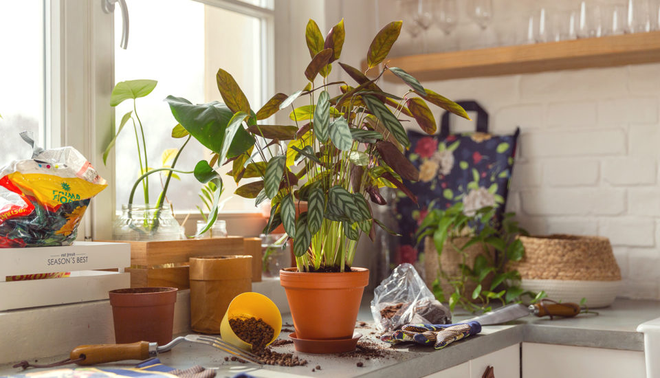Viete, ako správne presádzať izbové kvetiny? Prečítajte si návod krok za krokom